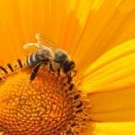 Kiedy jogini bzyczą jak pszczoły?